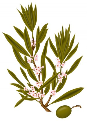 Olive Oil - Label Illustration